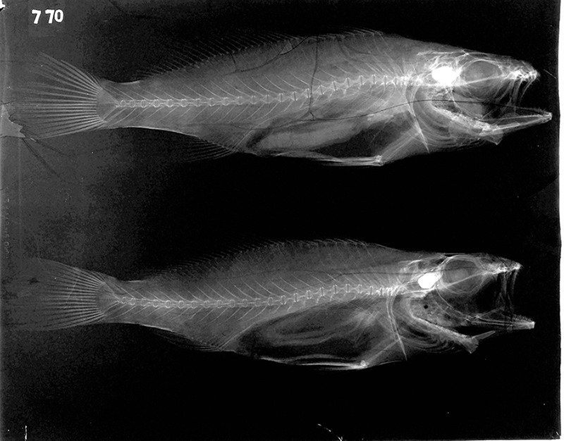 Fish X-ray digitised from The Natural History Museum's collection